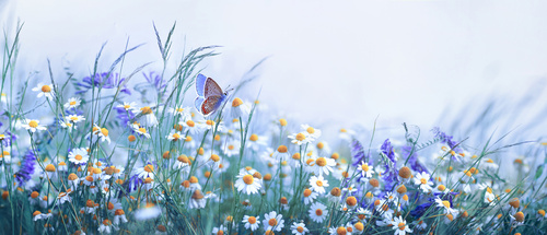 Wall mural butterfly, lavender, daisy, field, nature, beauty