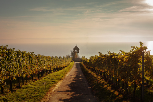 Wall mural Lake Constance, view of the vineyard in Meersburg, hazy horizon, warm light
