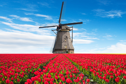 Wall mural Tulips, windmill, 3D flowers, red wallpaper
