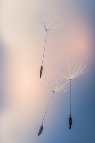 Wall mural Dandelions, dandelion seeds lifted by the wind, macro shot