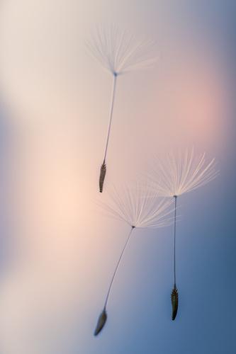 Wall mural Dandelions, dandelion seeds lifted by the wind, macro shot